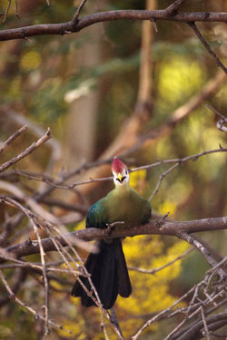 Red-crested turaco called Tauraco erythrolophus is found in Angola and the Democratic Republic of the Congo Angola Green Color Perch Red-crested Turaco Tauraco Erythrolophus Tree Turaco Animal Themes Animal Wildlife Animals In The Wild Bird Close-up Day Hide Nature One Animal Outdoors Perching Tree Turaco Bird Wild Bird Wildbird