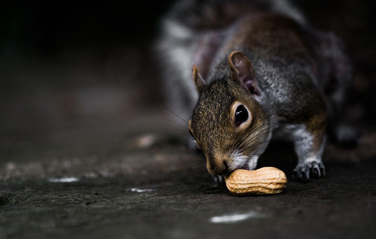 Squirrel eating a peanut. Animal Animal Wildlife Close-up D7100 Day EyeEm EyeEm Best Shots EyeEm Nature Lover Landscape London Macro Nature Nikon Outdoors Peanut Richmond Park, London Squirrel Wildlife