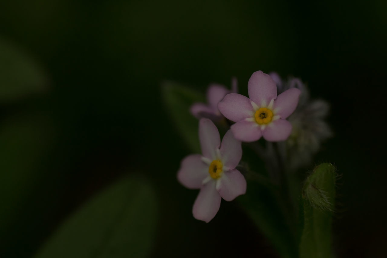 Beauty In Nature Blooming Blossom Botany Bud Close-up Flower Flower Head Forget Me Not Forget-me-not Fragility Green Color Growth In Bloom Macro Macro Photography Nature No People Petal Pink Pink Flower Plant Showcase June The Essence Of Summer The Week On EyeEm