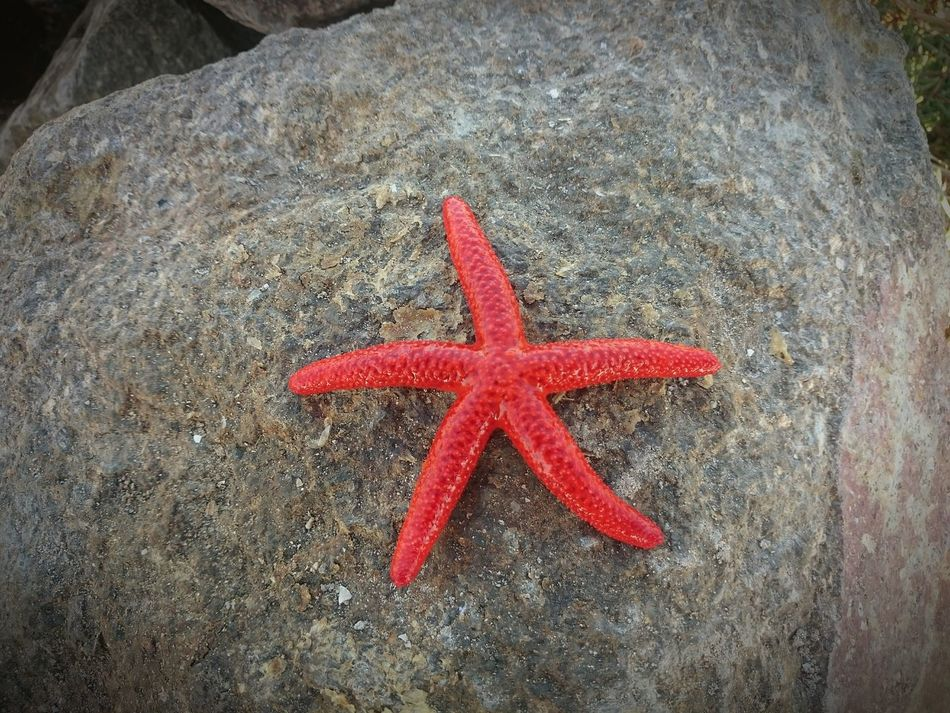 Found On The Roll Red Starfish Red Starfish On Rock
