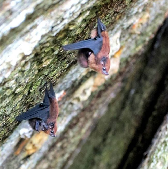 Kelelawar Chiroptera Bat adalah satu-satunya Mamalia yang bisa terbang. Animal Animalplanet Rock Sea Beach Pengudangvillage Bintanisland