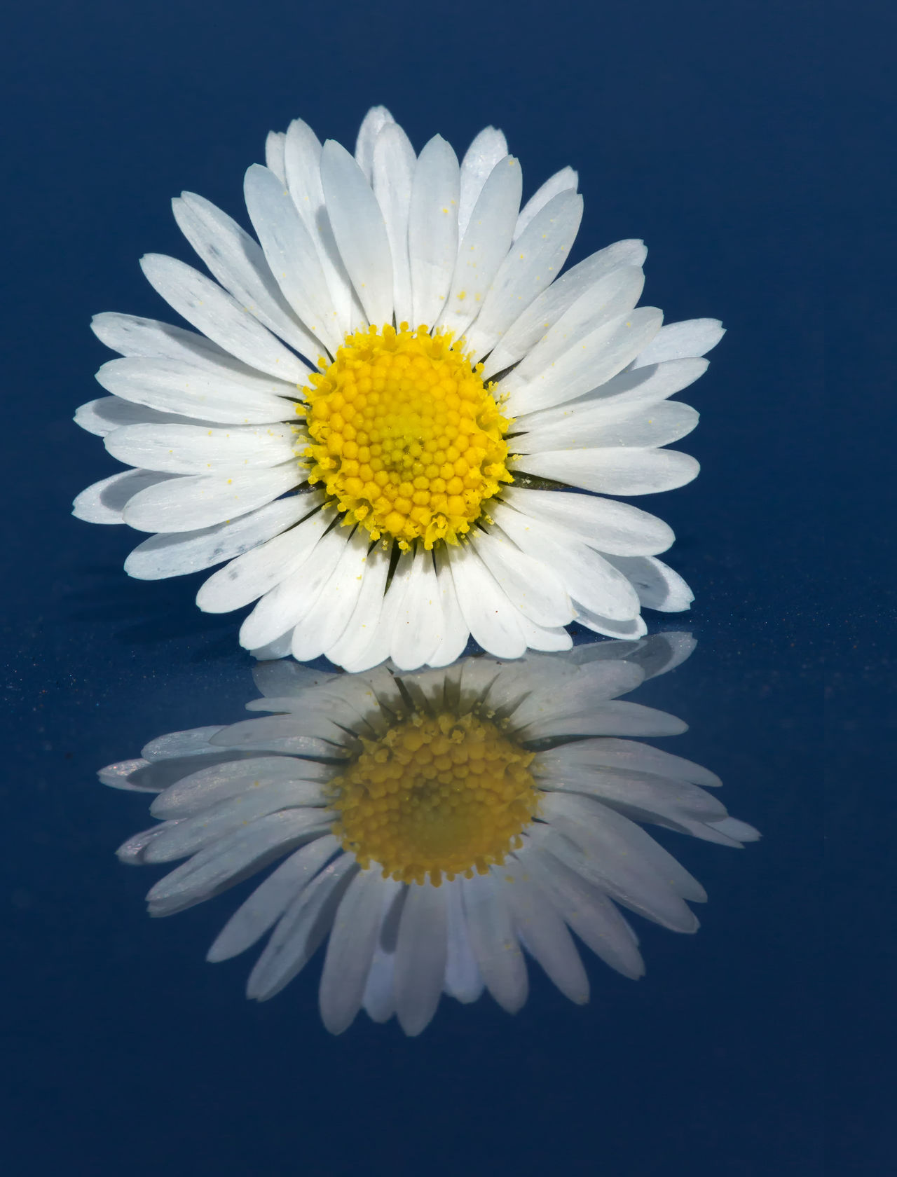 Daisy Reflection in Colour Beauty Beauty In Nature Close-up Daisy Day Flower Flower Head Fragility Freshness Nature No People Outdoors Petal Yellow