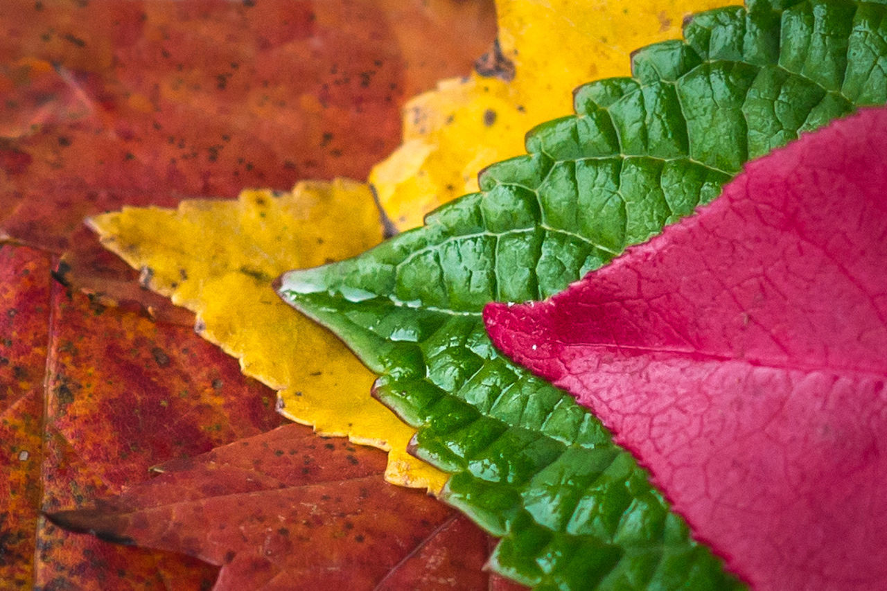 Autumn Colors Autumn Leaves Close-up Day Fragility Green Color Leaf Macro Multi Colored Nature No People Outdoors Red Texture Vibrant Color Yellow Maximum Closeness