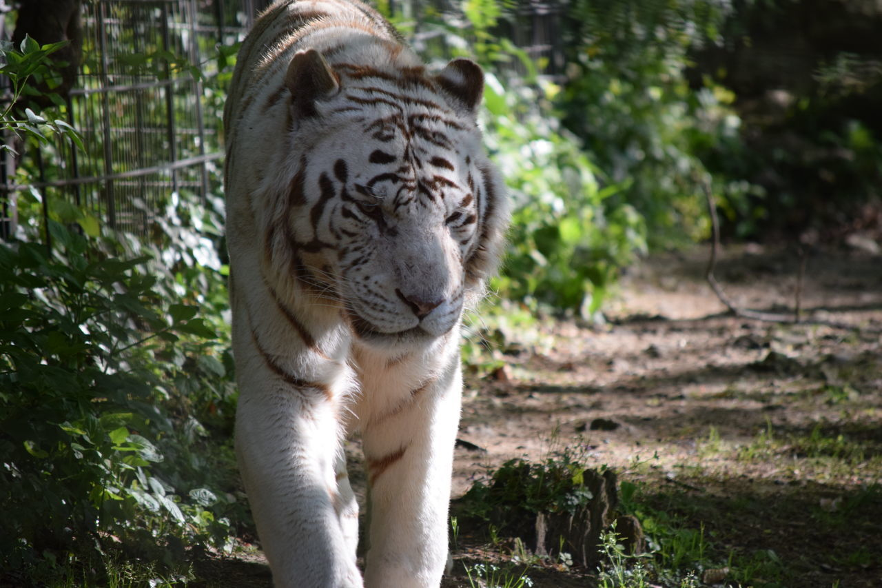 White Tiger Animal Themes Animal Wildlife Animals In The Wild Beauval Close-up Day Feline Focus On Foreground Mammal Nature No People One Animal Outdoors Safari Animals Tiger Tree White White Tiger White Tiger Wildlife Zoo