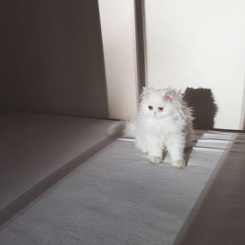Persian Cat  benim meleğim💙👼🏼