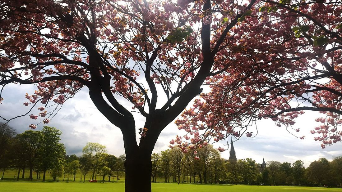 Edinburgh Mobilephotography Walking Around Colorful Blossoming Tree Grass Sunshine Relaxing Pretty
