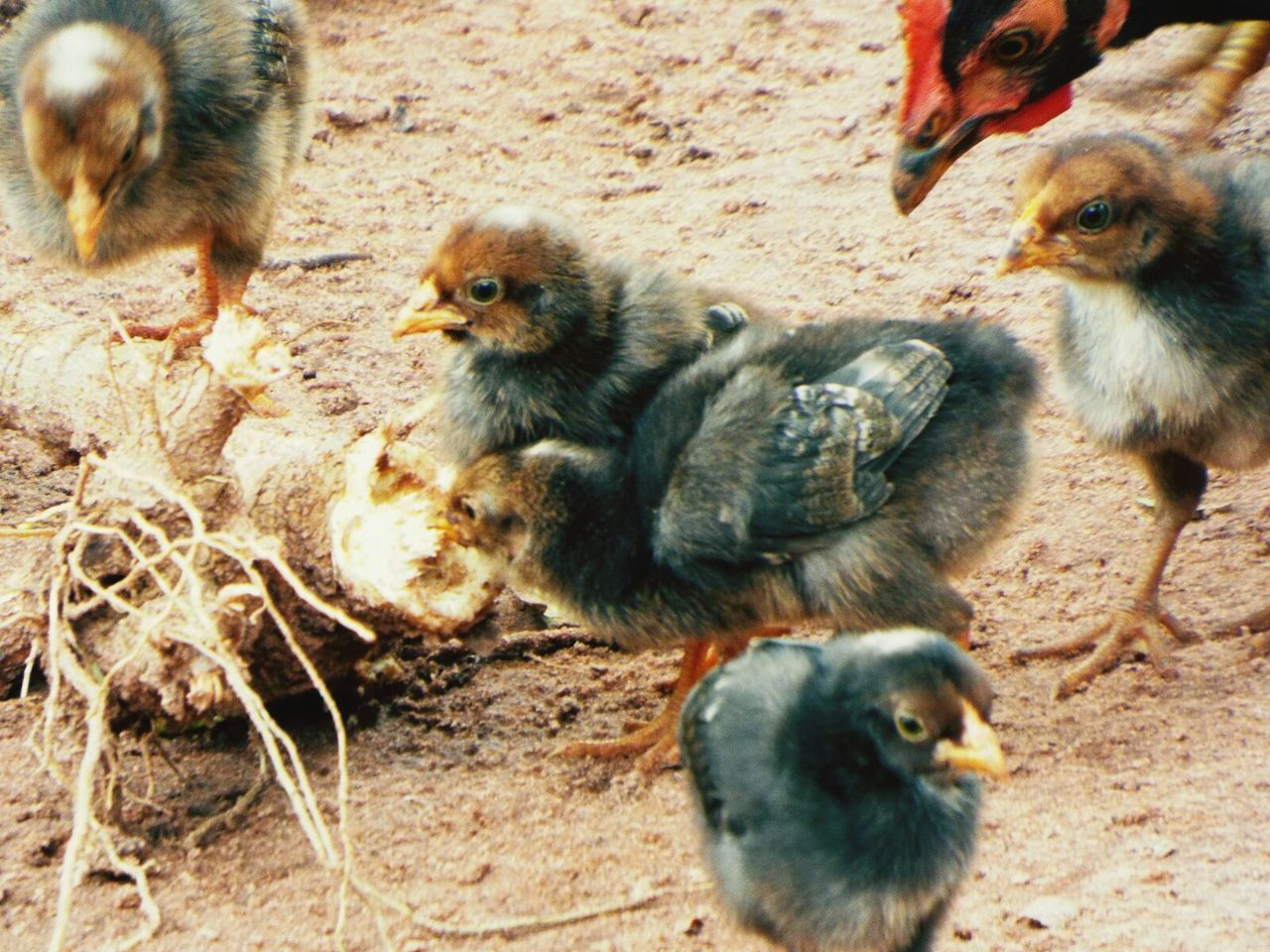 bird, animal themes, domestic animals, young bird, chicken - bird, high angle view, livestock, young animal, baby chicken, no people, outdoors, day, field, nature, close-up
