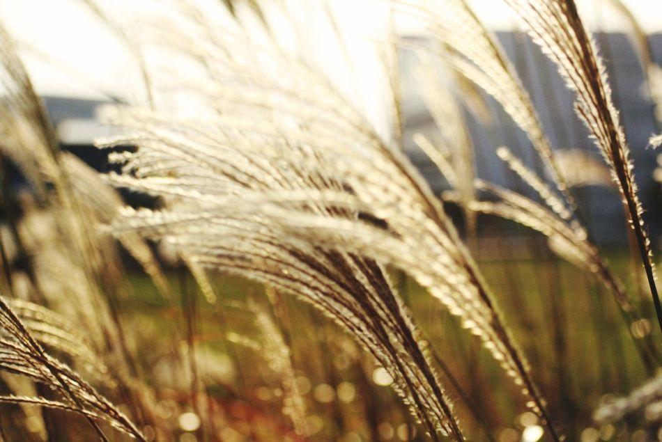 すすき♡ Silvergrass Fall Beauty Fall Colors EyeEm Gold Japan