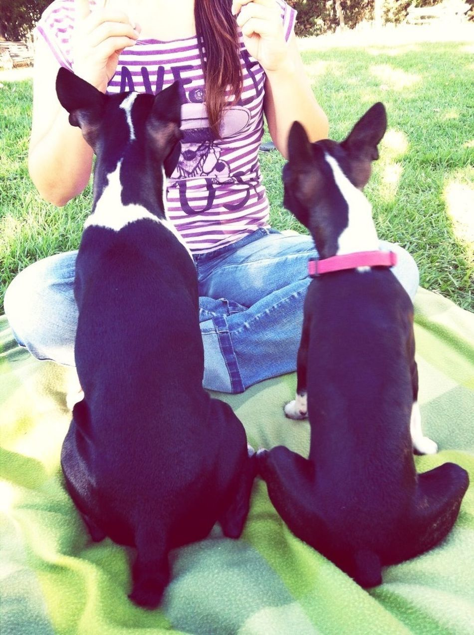 Boston Terrier Barry & Mila