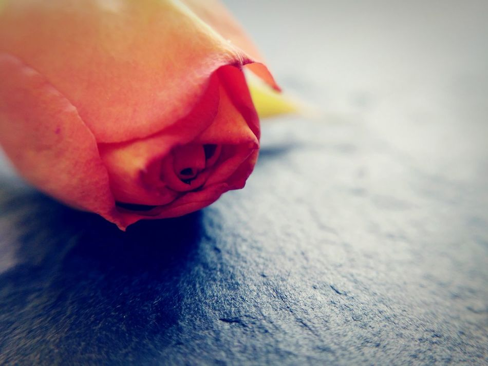 Lost Love No People Close-up Freshness Day Rosé Rose - Flower Flower Love Lost Love Sadness The End Red Orange Slate Sorry Lonliness Macro Macro Photography Close Up Closeup