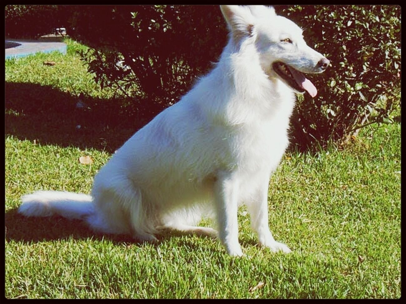 Branquinha Dog Love White Pastor Branco Suíço Love