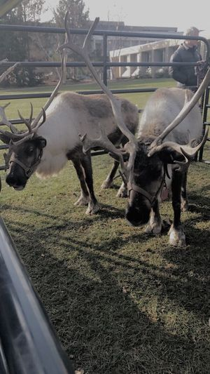 Animal Themes Mammal Day No People Field Nature Grass Outdoors Tree Close-up Reindeer EyeEmNewHere
