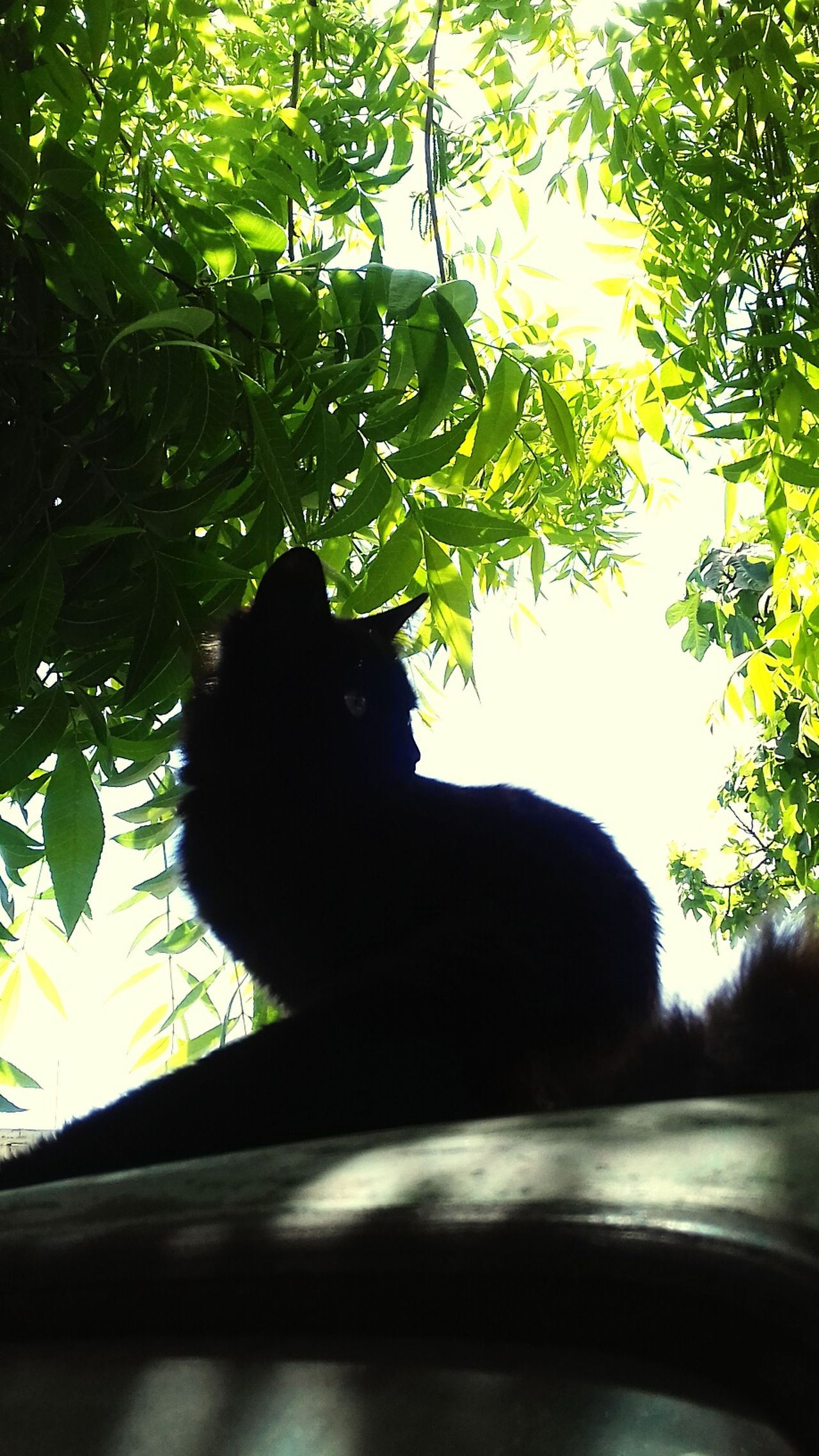 Black Cat Cats Of EyeEm. Black Color One Animal Cat Lovers Domestic Animals Morning Sun Nature Kitten 🐱 Cat♡ Cats 🐱 Black Cats Are Beautiful Shadows & Lights Day Black Cats Beauty In Nature Portrait Of A Cat Green Color Animal Themes Outdoors Garden Domestic Cat No People Kitty Cat Kitty Love
