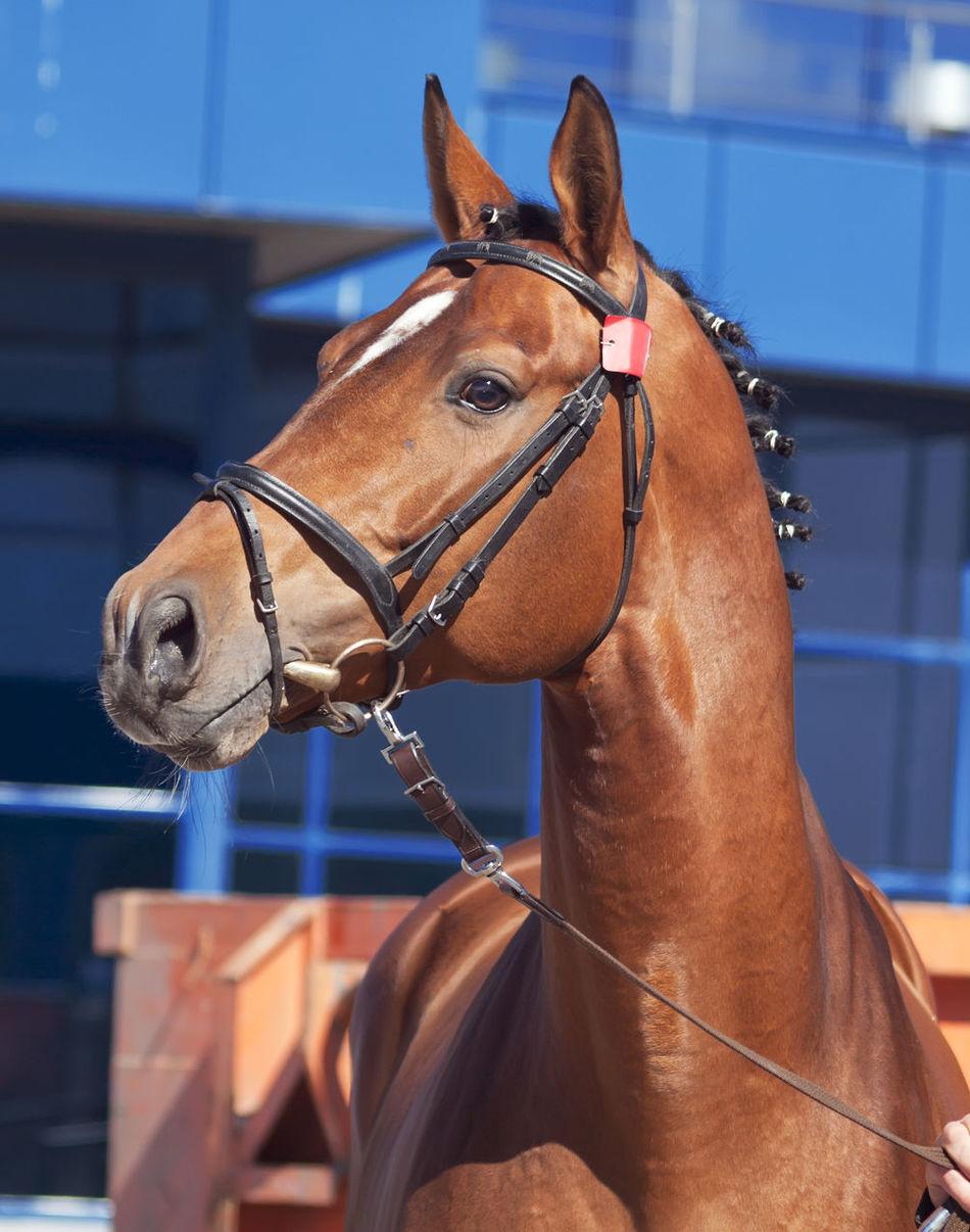 Bay Blue Horse Pets Show Sportive