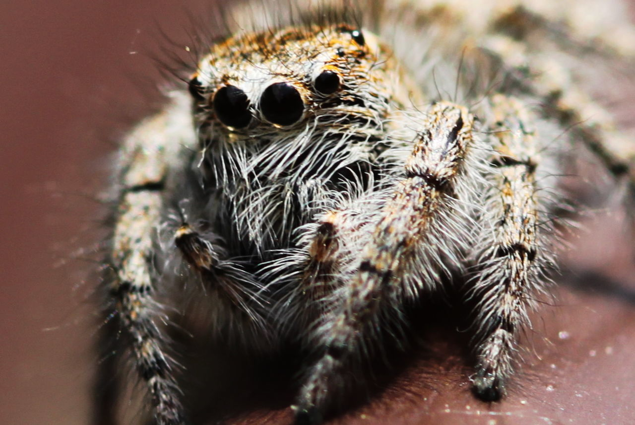 Close Up Close-up Day Jumping Spider Macro Photography Many Eyes May 2017 Milano No People On My Balcony Outdoors Spider