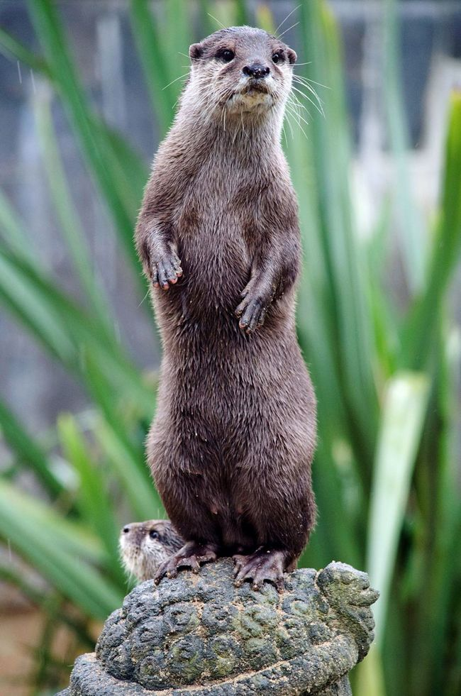 Dancing otter Animal Themes Mammal Nature Beauty In Nature Otter Animals Animal Otters Wildlife Nikon Nature Beauty In Nature EyeEm Gallery Animal Head  Standing Wet Cute Paw Paws