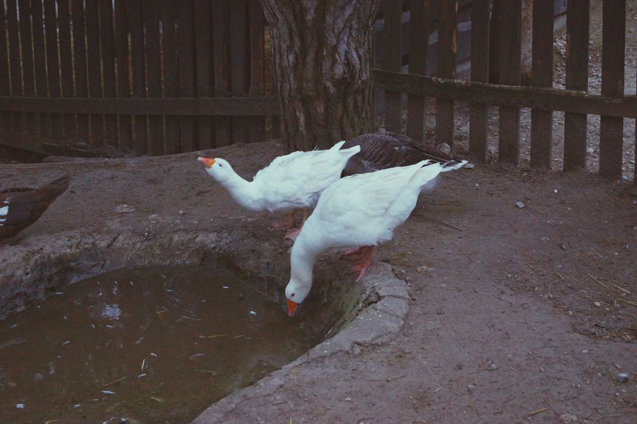 Bird Flying Spread Wings Full Length Animal Wildlife Animal Themes One Person Swan Outdoors People Night Angry Birds Gooses Family Angry Goose Gooses Nature Farm Animals Goose Chick Focus On Foreground Water Farm Life Feeding Animals EyeEm Best Shots Beauty In Nature No People
