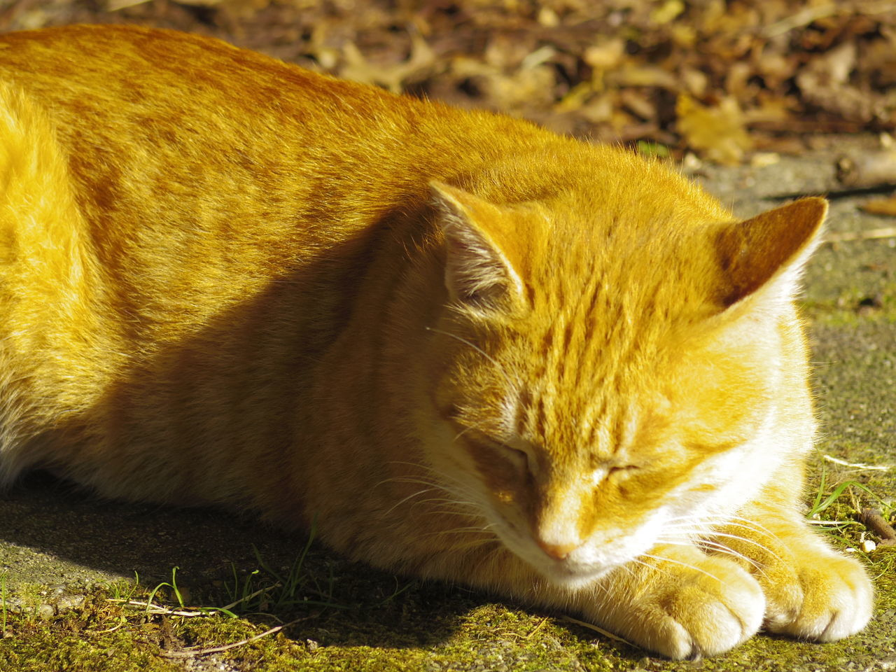 one animal, animal themes, domestic cat, mammal, domestic animals, feline, pets, no people, day, whisker, close-up, outdoors, sitting, nature