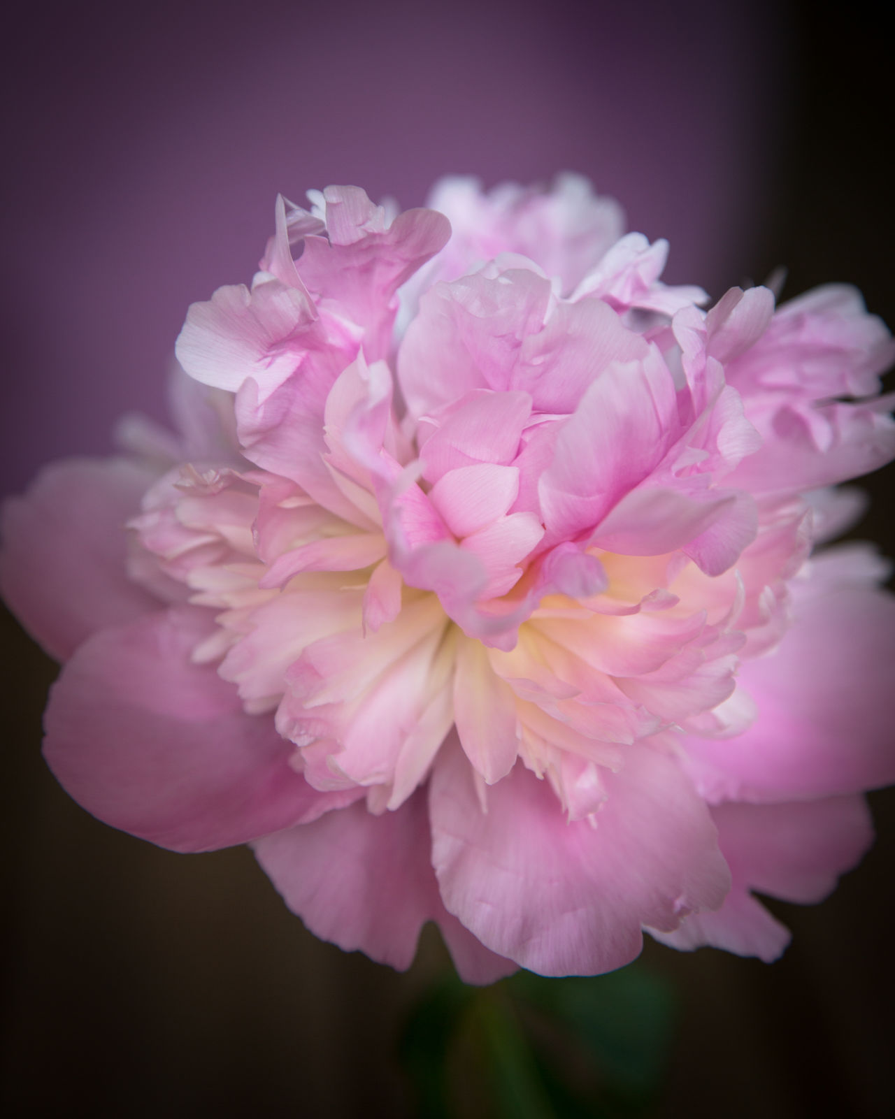 Beauty In Nature Close-up Day Fine Art Photography Flower Flower Head Fragility Freshness Nature No People Outdoors Peony  Petal Pink Color Plant