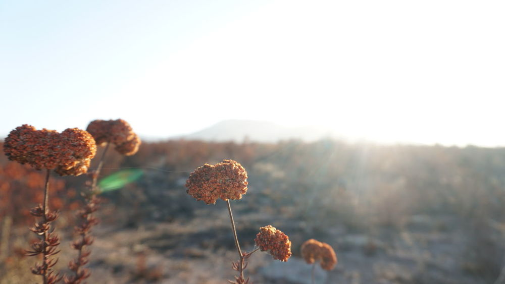 EyeEm Selects Nature Plant Beauty In Nature Outdoors Field Tranquil Scene Close-up Scenics Sky Beauty Dying Flowers Flower Red Flower Sunrise No People Day Sony A6300 Still Life