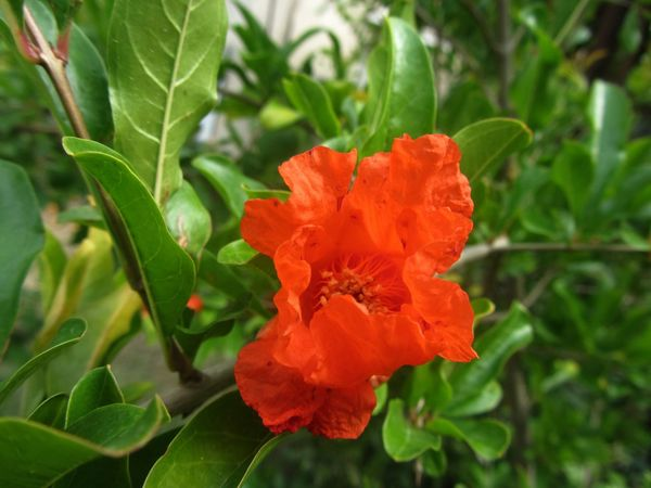 Flower Leaf Plant Nature Beauty In Nature Growth Petal Flower Head Outdoors Red Freshness Nature Nature Photography Naturelovers Beauty In Nature EyeEm Nature Lovers EyeEm Nature Lover Eyeemnaturelover Nature_collection Pomegranate Flower PomegranateTree