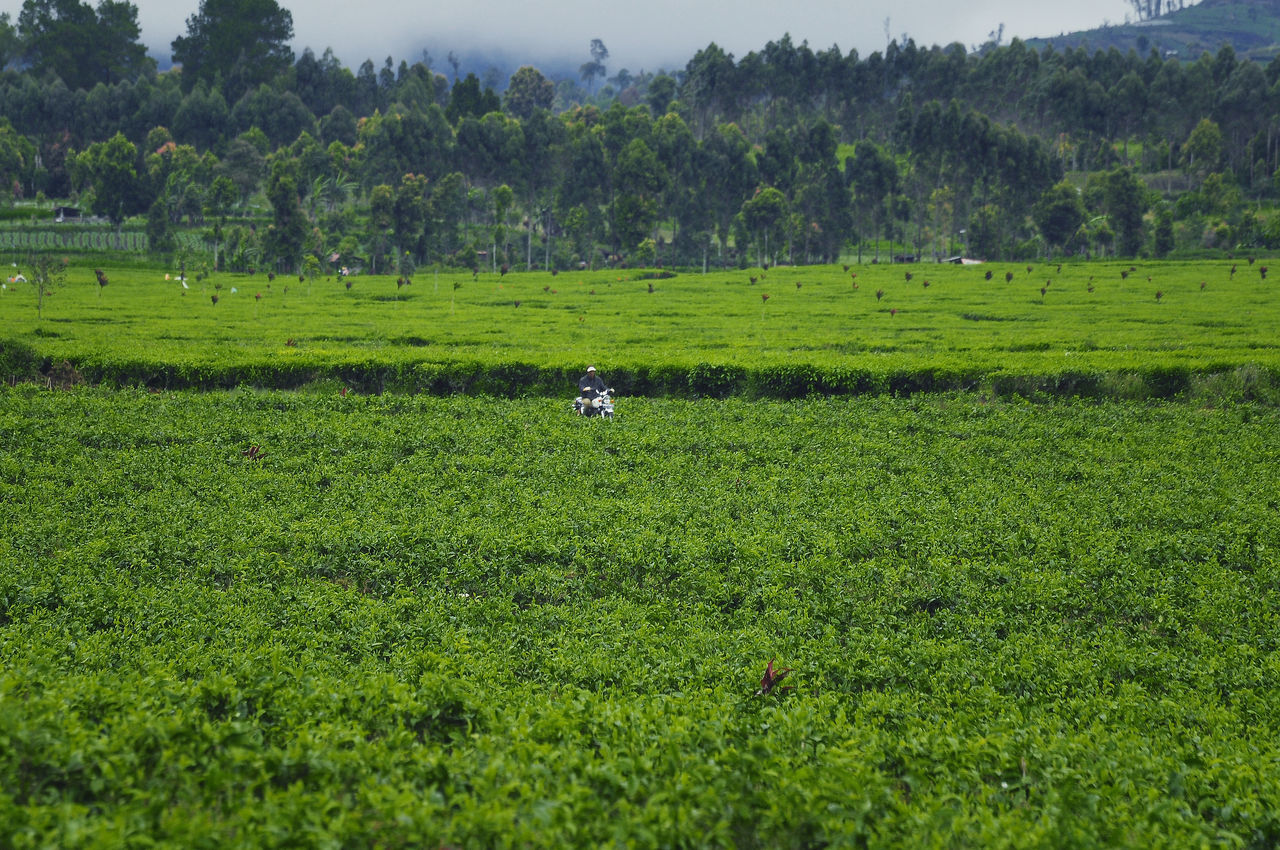 tea rider Agriculture Beauty In Nature Day EyeEmNewHere Farm Field Green Color Growth Landscape Minimalist Architecture Nature Occupation One Person One Woman Only Outdoors People Rice Paddy Rural Scene Scenics Sky Tea Crop TheWeekOnEyeEM Tree