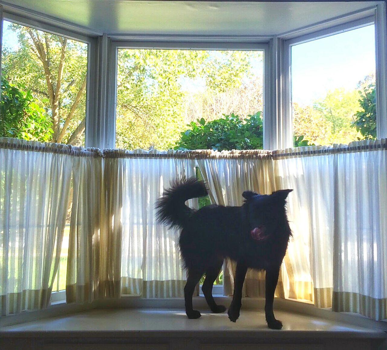 Pets Window Dog Indoors  Sunlight Black Dog Puppy Manny Tounge Out  Tounge