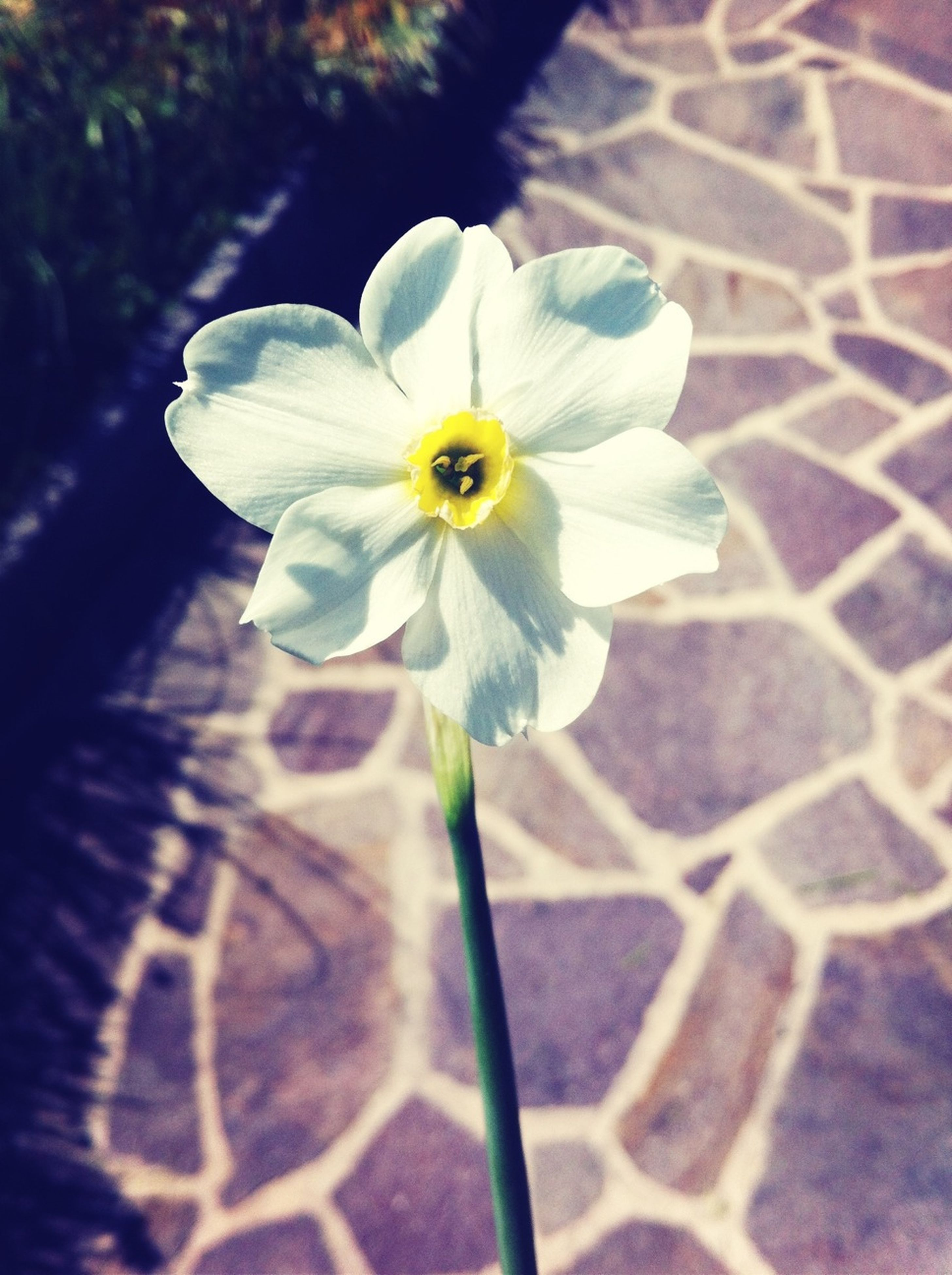 flower, petal, flower head, fragility, freshness, single flower, white color, close-up, blooming, focus on foreground, growth, beauty in nature, nature, plant, day, outdoors, park - man made space, sunlight, in bloom, no people