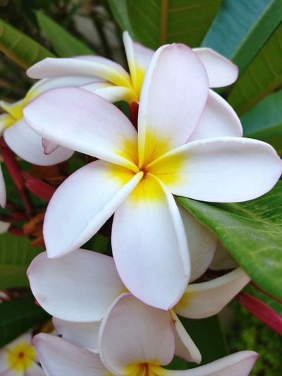 I hope they will survive the drought Frangipani South Africa Drought Cape Town Drought In Cape Town Constantia Tiare Flowers Tiare Flower White Flower Perfume Dayzero Flower Close-up Nature No People Beauty In Nature Plant Frangipani Flower Head Fragility Growth Outdoors