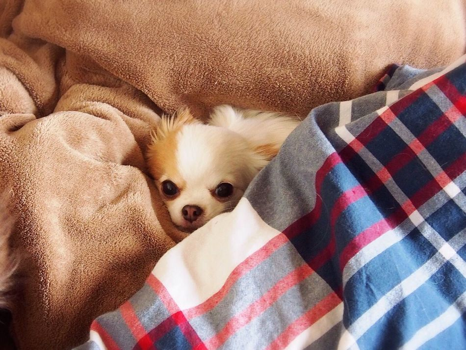 Beautiful stock photos of chihuahua, Animal Head, Animal Themes, Bed, Blanket