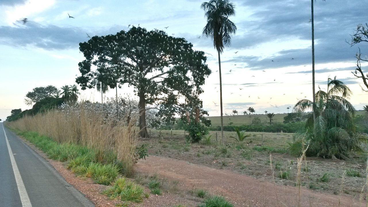 Carlinda MT Floresta Amazonica Bird Arvore de passaros no centro do Mato Grosso