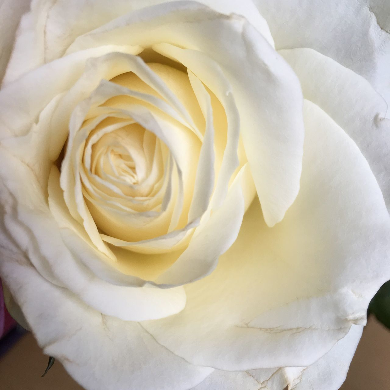 Rose - Flower 3XSPUnity