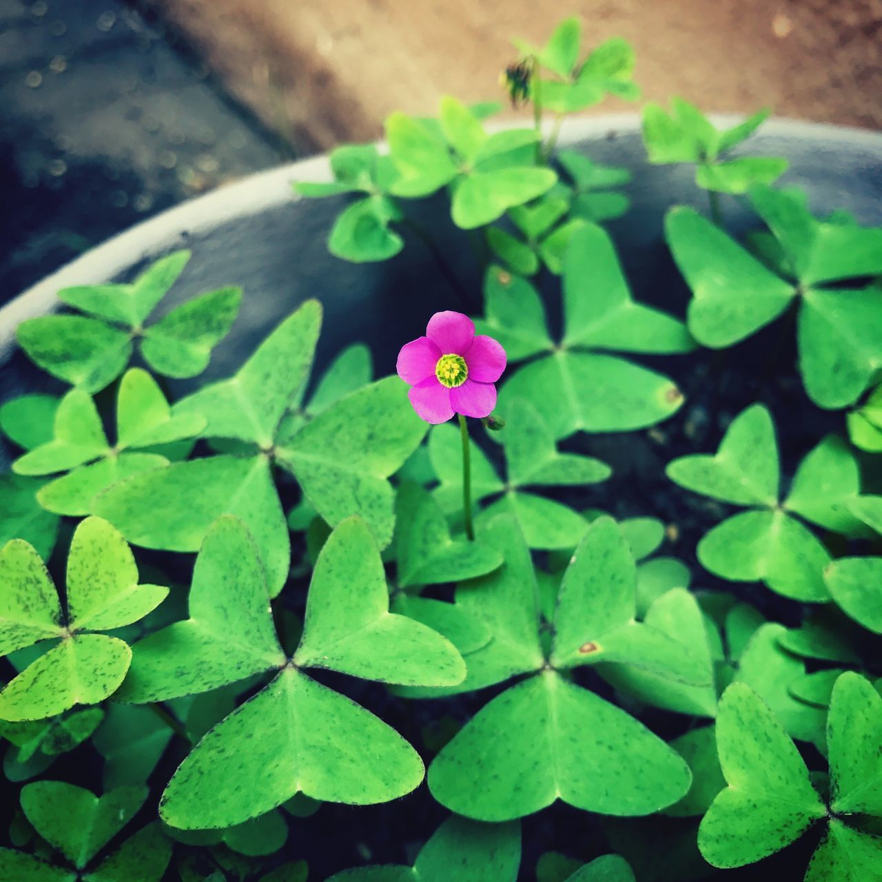 leaf, growth, plant, green color, freshness, flower, fragility, high angle view, nature, beauty in nature, petal, day, outdoors, periwinkle, no people, flower head, pink color, close-up, blooming