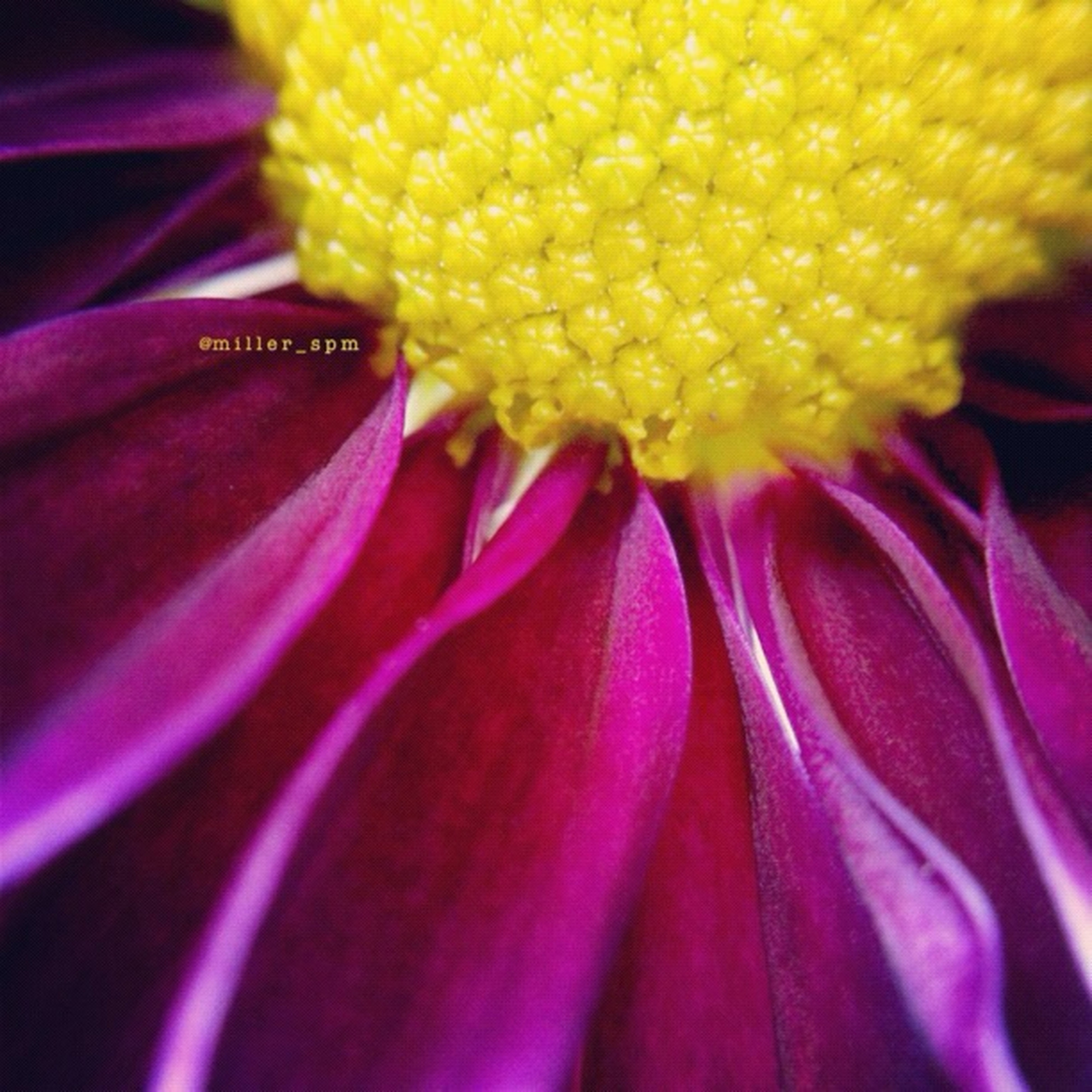flower, petal, freshness, flower head, yellow, fragility, close-up, purple, full frame, extreme close-up, selective focus, beauty in nature, backgrounds, macro, detail, pollen, single flower, extreme close up, nature, stamen