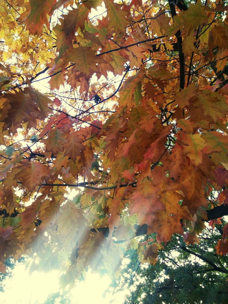autumn, leaf, change, tree, nature, beauty in nature, branch, growth, low angle view, day, maple leaf, maple tree, outdoors, scenics, no people, tranquility, fragility, maple, close-up, freshness, sky