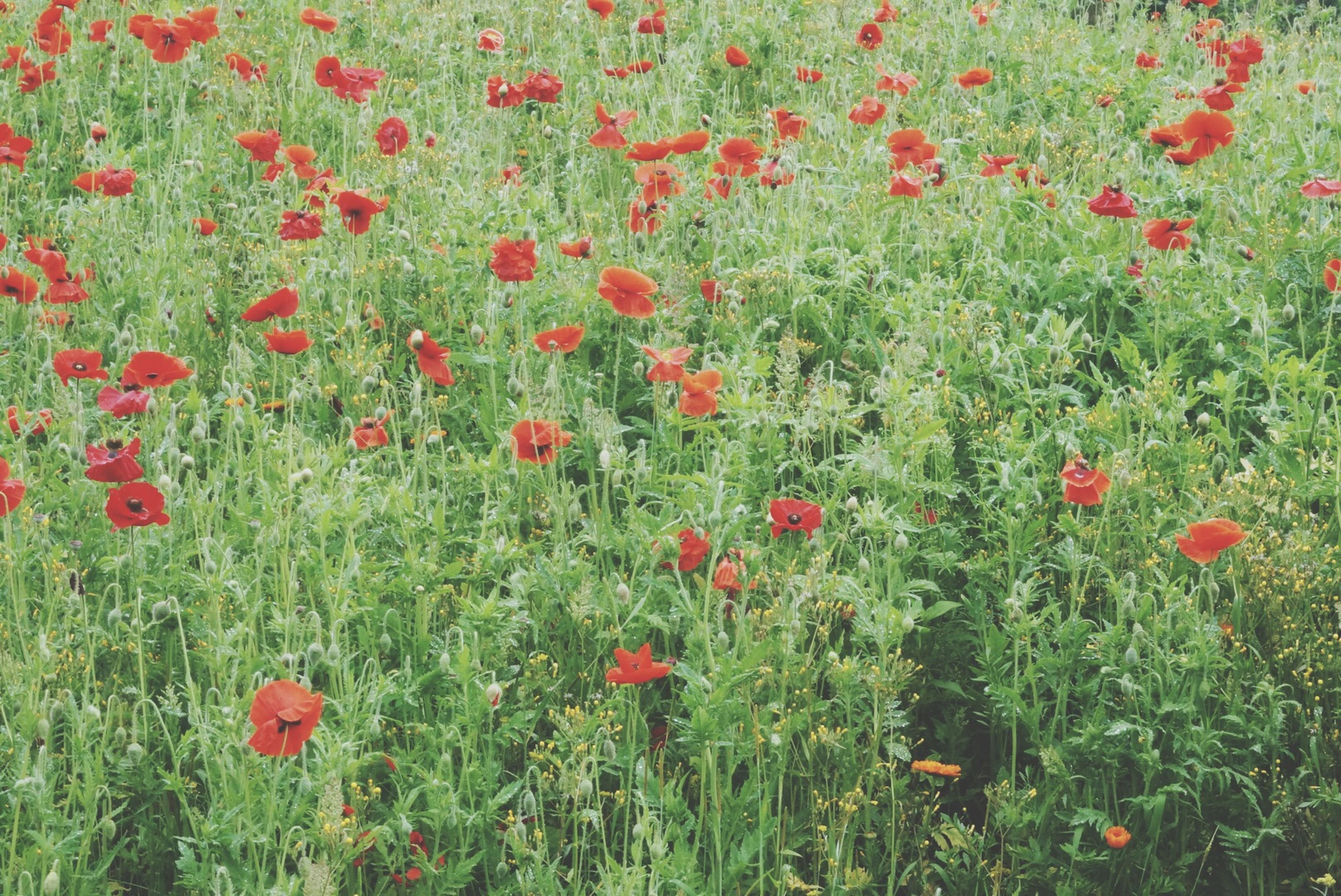 flower, freshness, red, growth, beauty in nature, field, poppy, plant, fragility, nature, blooming, high angle view, petal, green color, abundance, flower head, grass, in bloom, day, tranquility