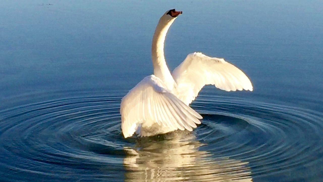 Swantastic Swan Schwanenfamilie Schwan  Schwäne Swans Swans ❤ Moments Moment Moments-2015 Eyeem Awards