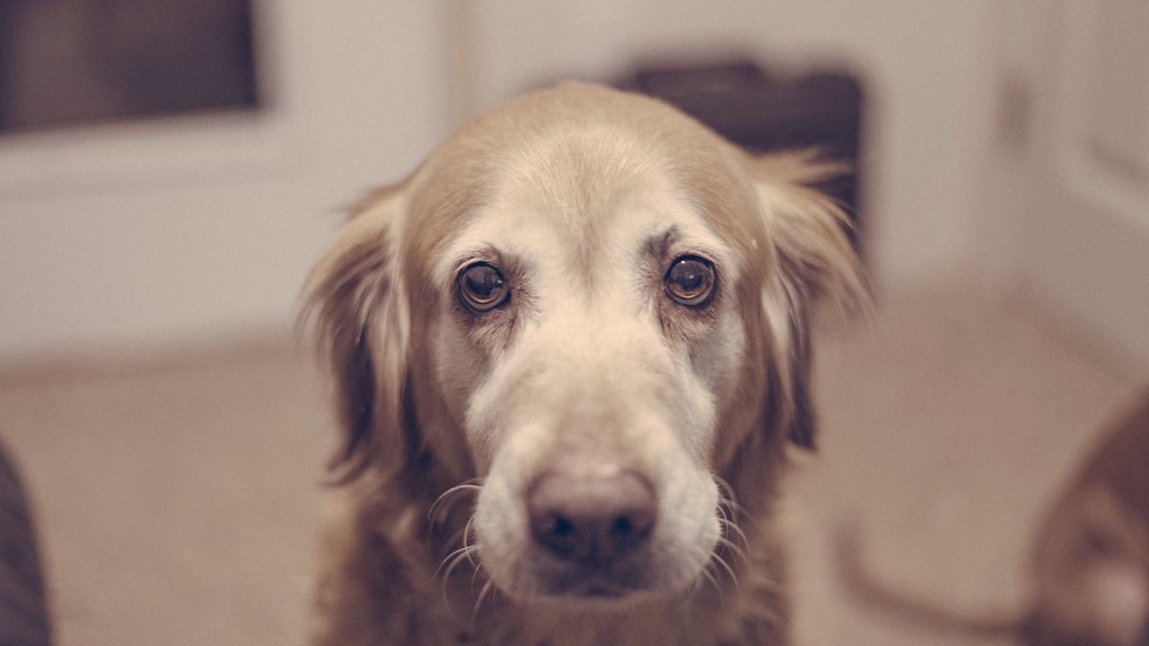 Golden Retriever Looking At Camera Portrait Dog Indoors  No People Close-up Domestic Animals Pets Doggy DoggyLove Ilovemydog Cute Dogs Cuddlebuddy Cuddle