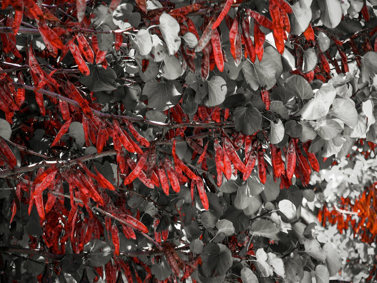 One Pic/2 Edits Carmine Red Red Leaves Shades Of Red Season  Autumn Backgrounds Leaves Abundance Nature Blossom Growth Beauty In Nature Botany Vibrant Color Nature_collection Nature On Your Doorstep Plants Tree Branches Blooming Fine Art Monochrome Photography