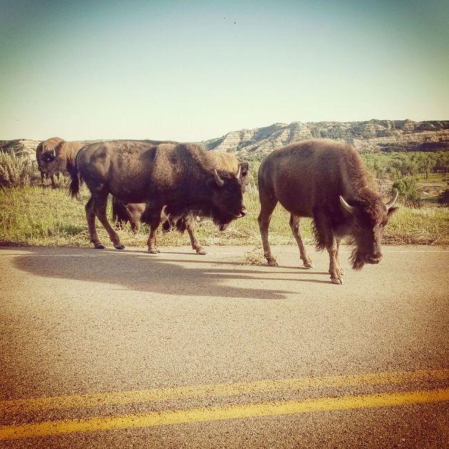 Bison wandering onto the road. Bison Outdoors American Bison Wildlife North Dakota Theodore Roosevelt National Park