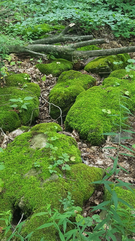 Mossy Rock Mossy Stone Outdoors Nature Green Color Beauty In Nature Tranquility Plant Day Beauty Is Everywhere  The Week On EyeEm A Walk In The Forest Lush Foliage Forest Forest Floor Sticks Leaves Rattlesnake Point Ontario Canada