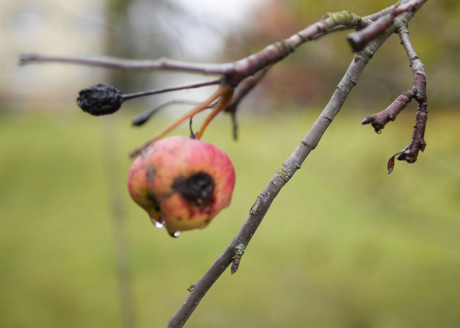 Apple Apple Tree Autumn Fruits Beauty In Nature Close-up Day Eye4photography  EyeEm Best Shots EyeEm Nature Lover Focus On Foreground Food Food And Drink Fruit Nature No People Tree