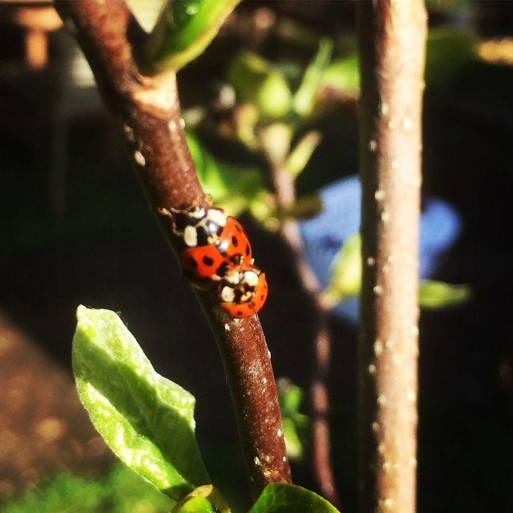 Ladybird Ladybug Ladybugs Ladybirds 🐞 Insect Love Insect Lover
