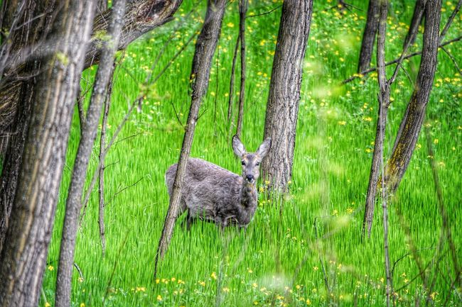 Deer Deer ♥♥ Grass Forest Green Color Tree Nature Beauty In Nature Green Pregnant Regurgitated Wilderness Area Calmness Animal Themes Animals In The Wild Animal Animal Photography Roe Deer Roé