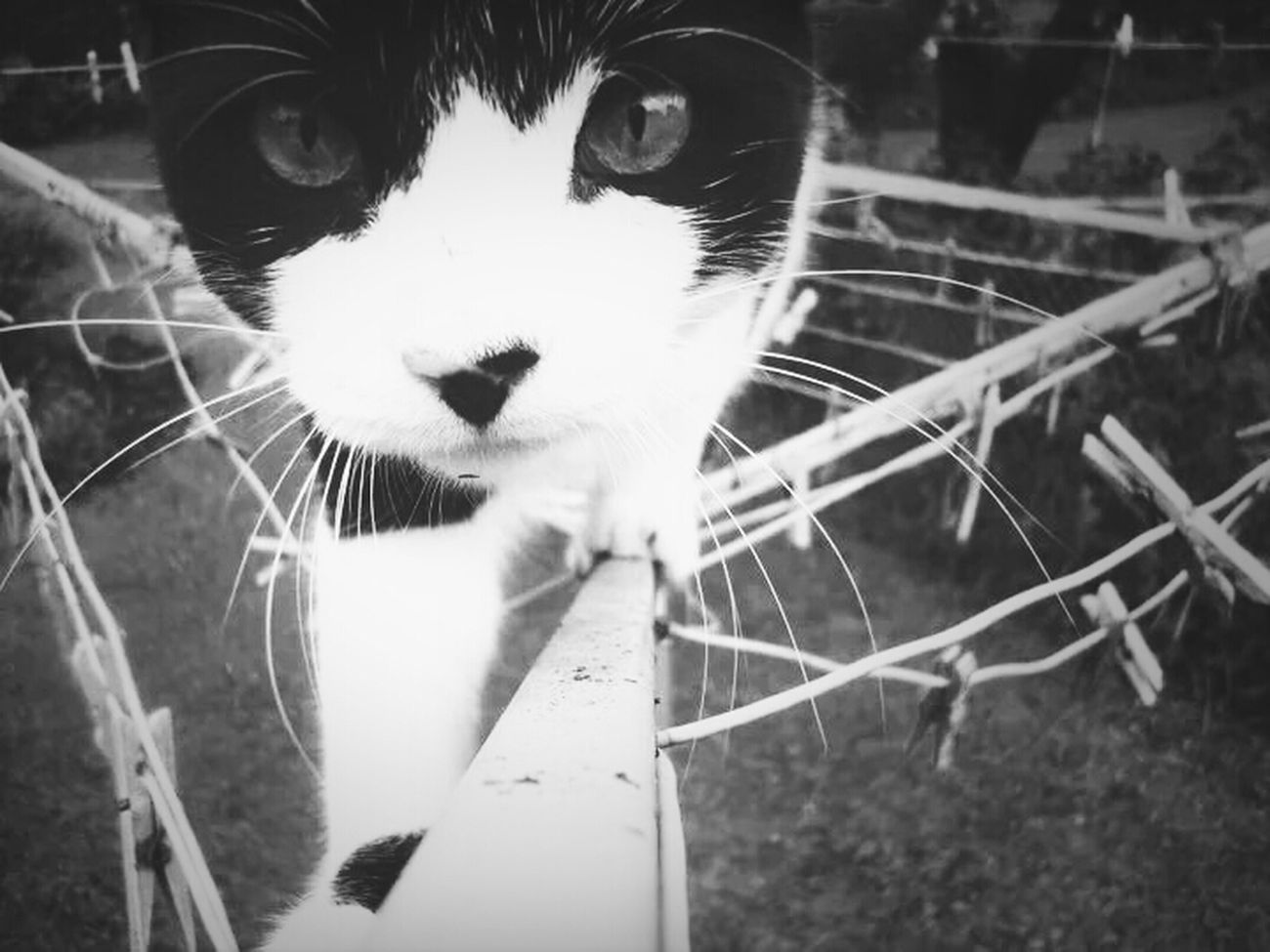 Cat Black And White Sneeky