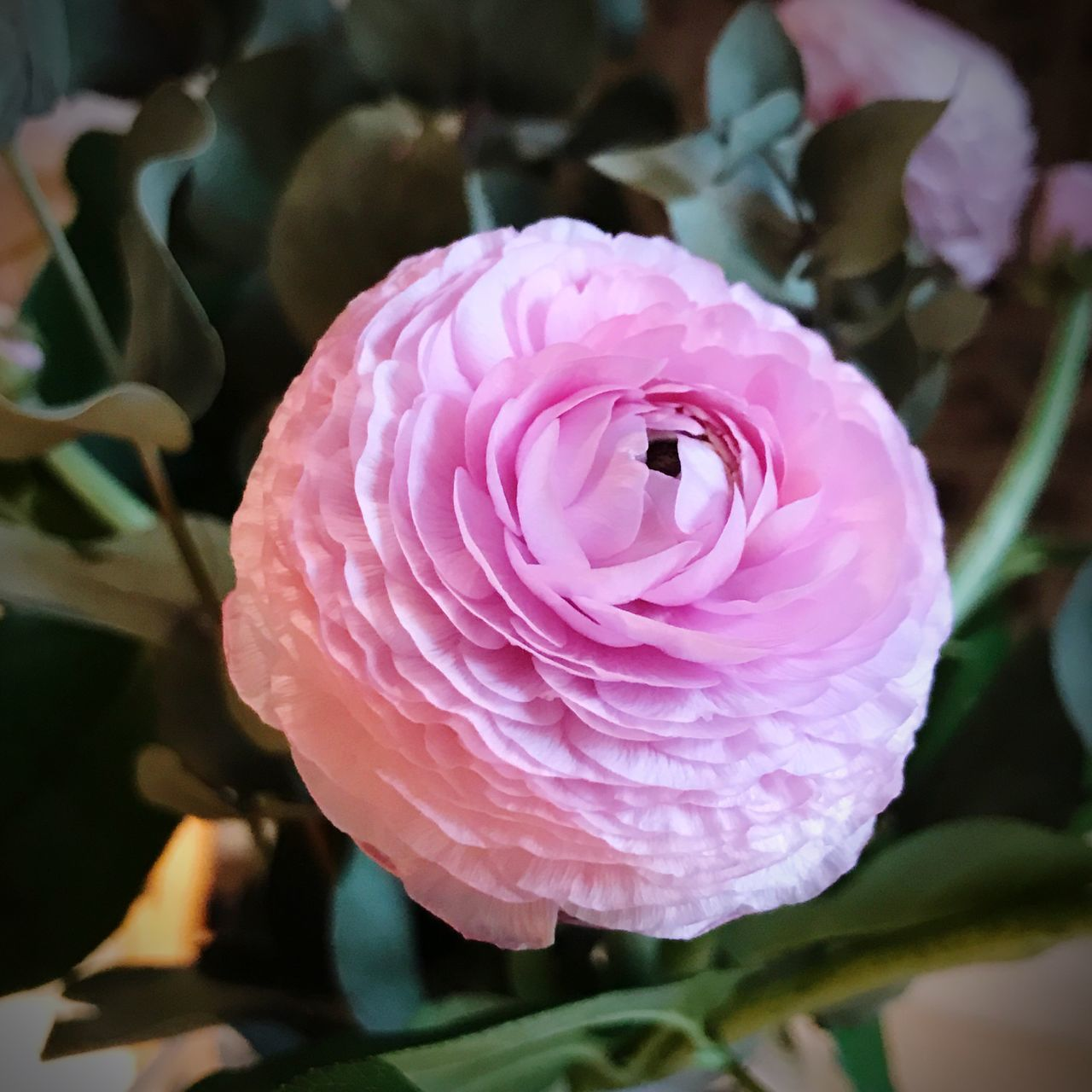 Flower Pink Ranunculus Single Flower Petal Fragility Freshness Nature Beauty In Nature Flower Head Pink Color Close-up Rose - Flower Plant Growth No People Blooming Outdoors Day Valentine's Bouquet