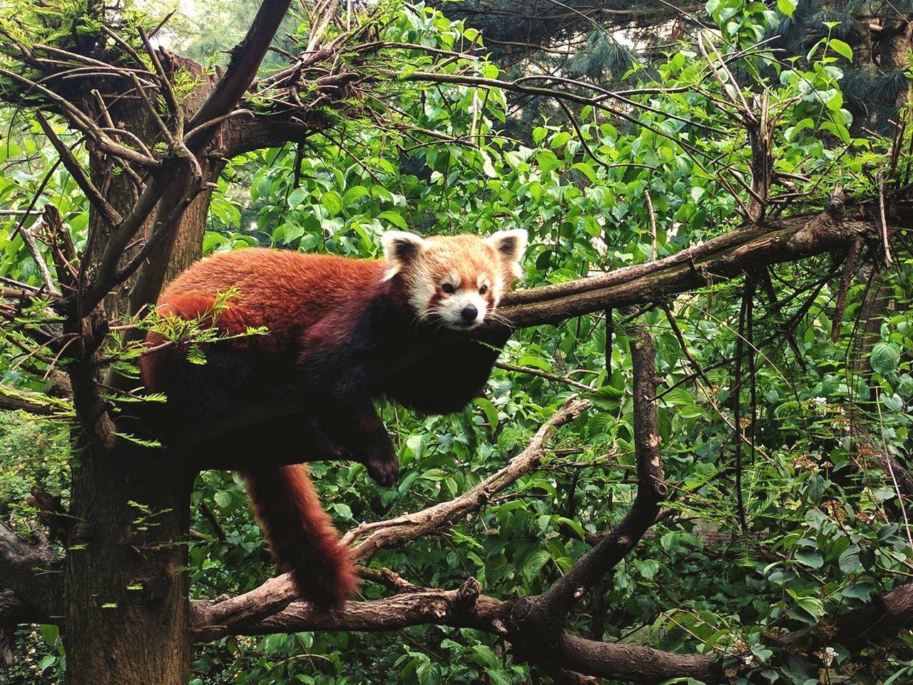 Red Panda Animal Wildlife Nature Tree One Animal EyeEmNewHere