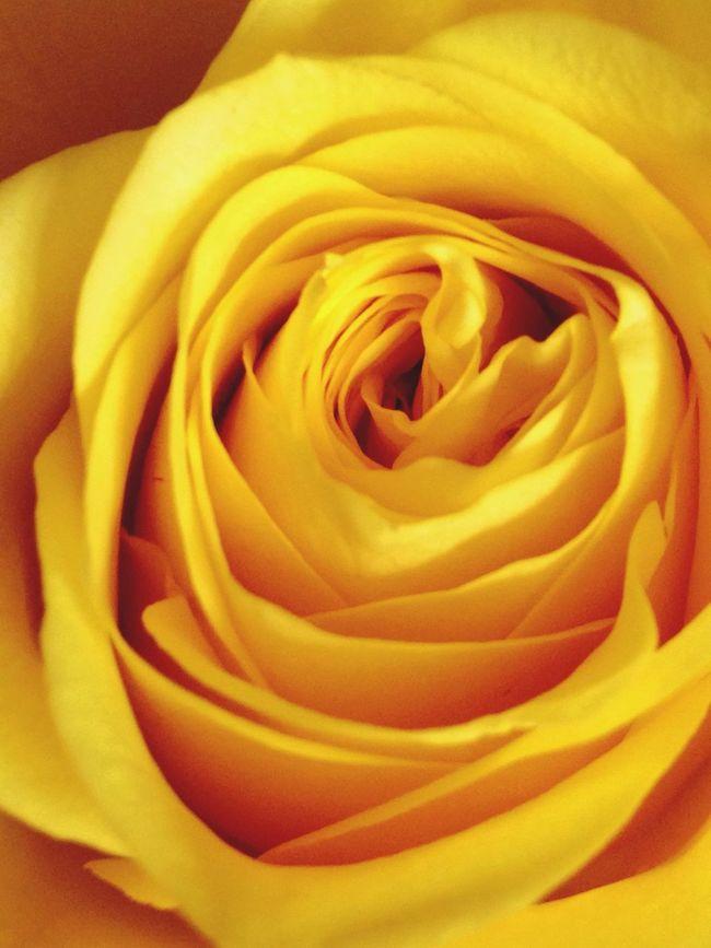 Roses Yellow Flower