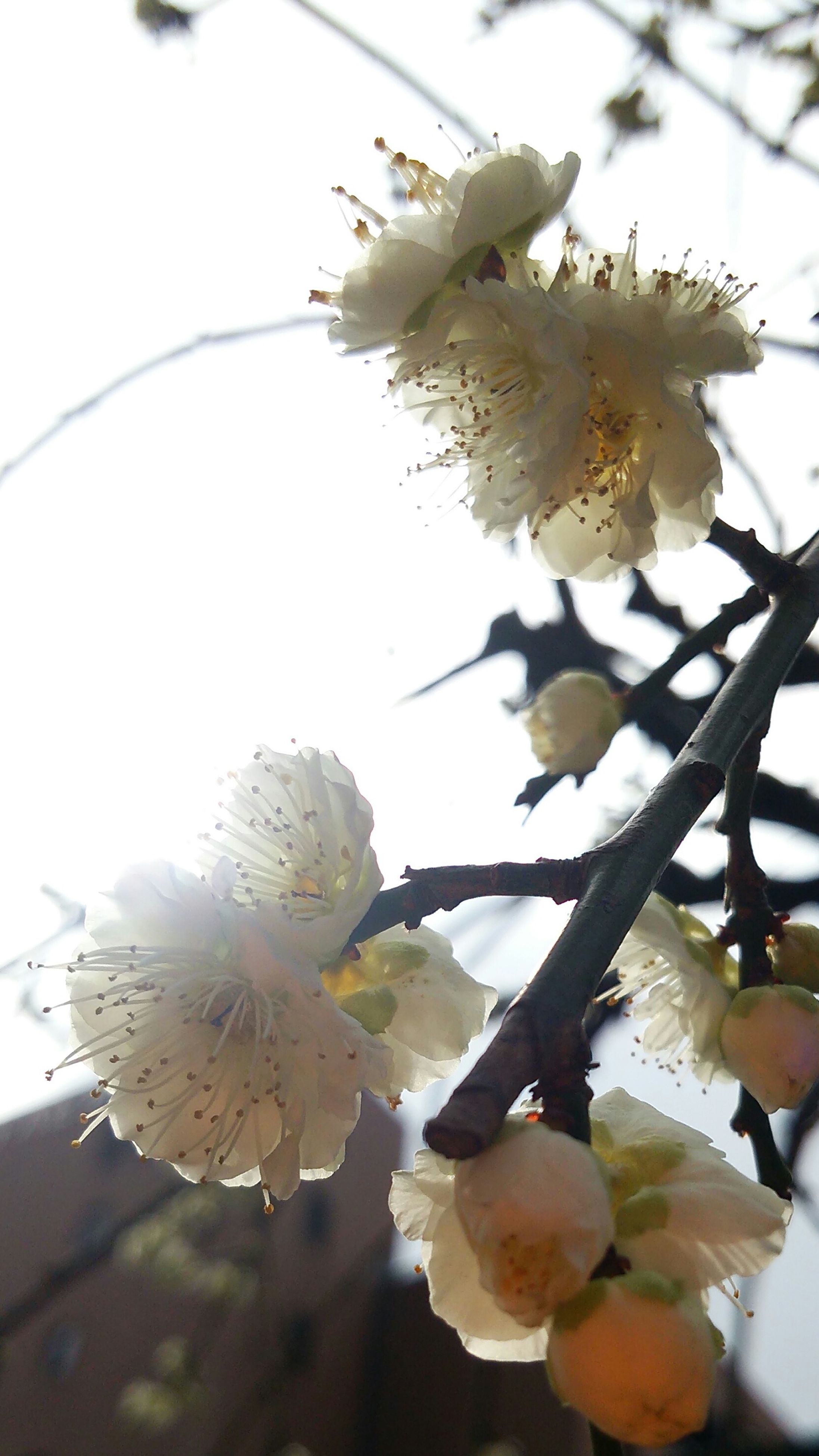flower, freshness, fragility, petal, growth, close-up, flower head, beauty in nature, branch, nature, blooming, focus on foreground, blossom, white color, low angle view, tree, in bloom, plant, pollen, sunlight