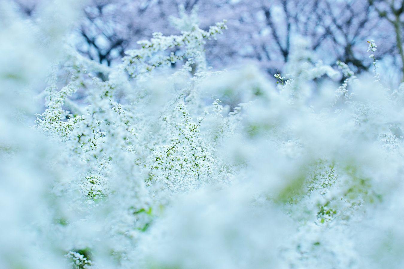 愛らしさ。雪柳 Showcase April ゆきやなぎ Relaxing Spring Time Japan Bokeh Dreamfantasy Hazy Days 春 Spring Colors Spring Colours EyeEm Flower EyeEm Nature Lover Flowers Bokeheffect Thunberg Spirea